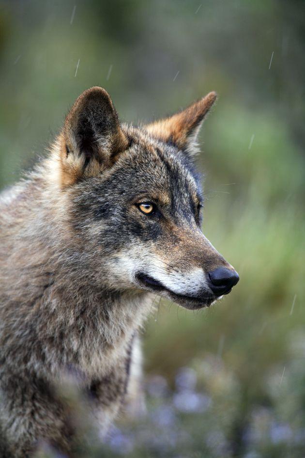 Fauna José B Ruiz Animales En Peligro De Extincion Animales Lobo Iberico