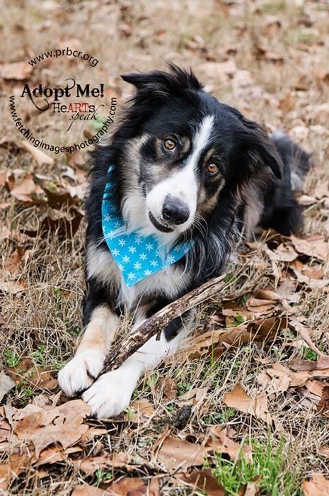 Adopt Zach On Pets Collie Dog Collie Rescue