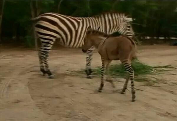 A rare Zonkey...in Nirthern Mexico...the Zebra would sneak to see the donkey there and walla