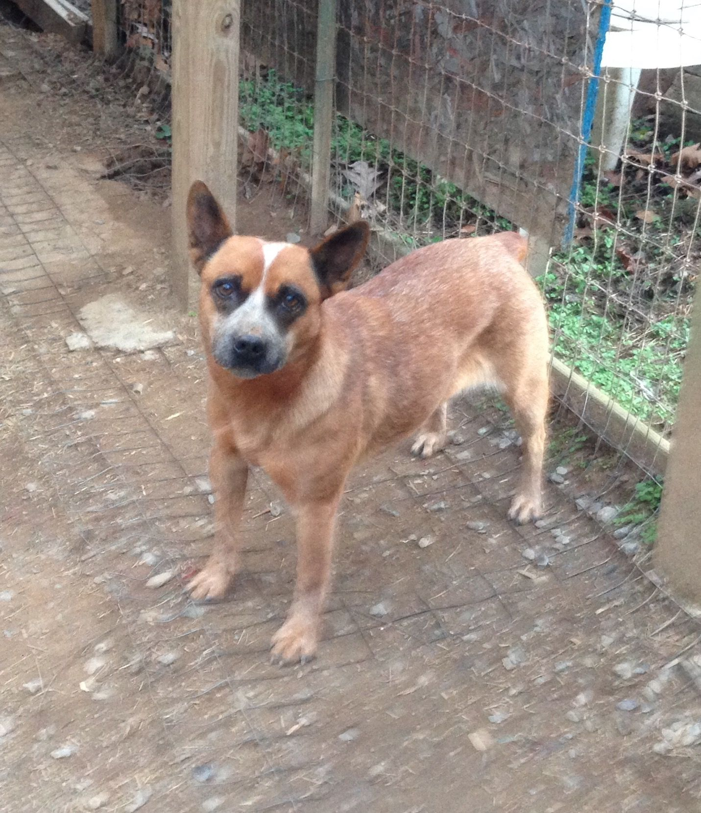 Mutt Dog For Adoption In Asheville Nc Usa Adn 39557 On