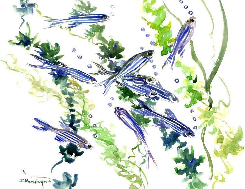 Danio Zebra Fish Slender Danios In Aquarium 16 X 12 In Original