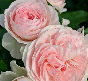 Roze Powtarzajace Kwitnienie Hybrid Tea Roses Tea Roses Floribunda Roses