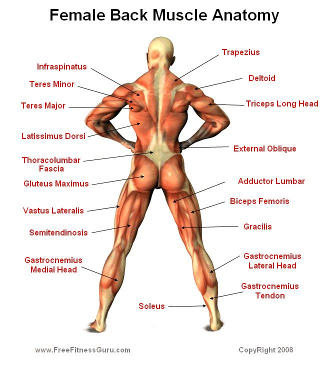 muscle anatomy | female back | bone & muscle structures, Muscles