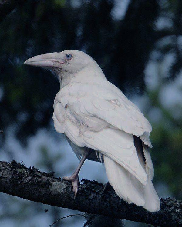 редкая белая ворона фото косточка авокадо