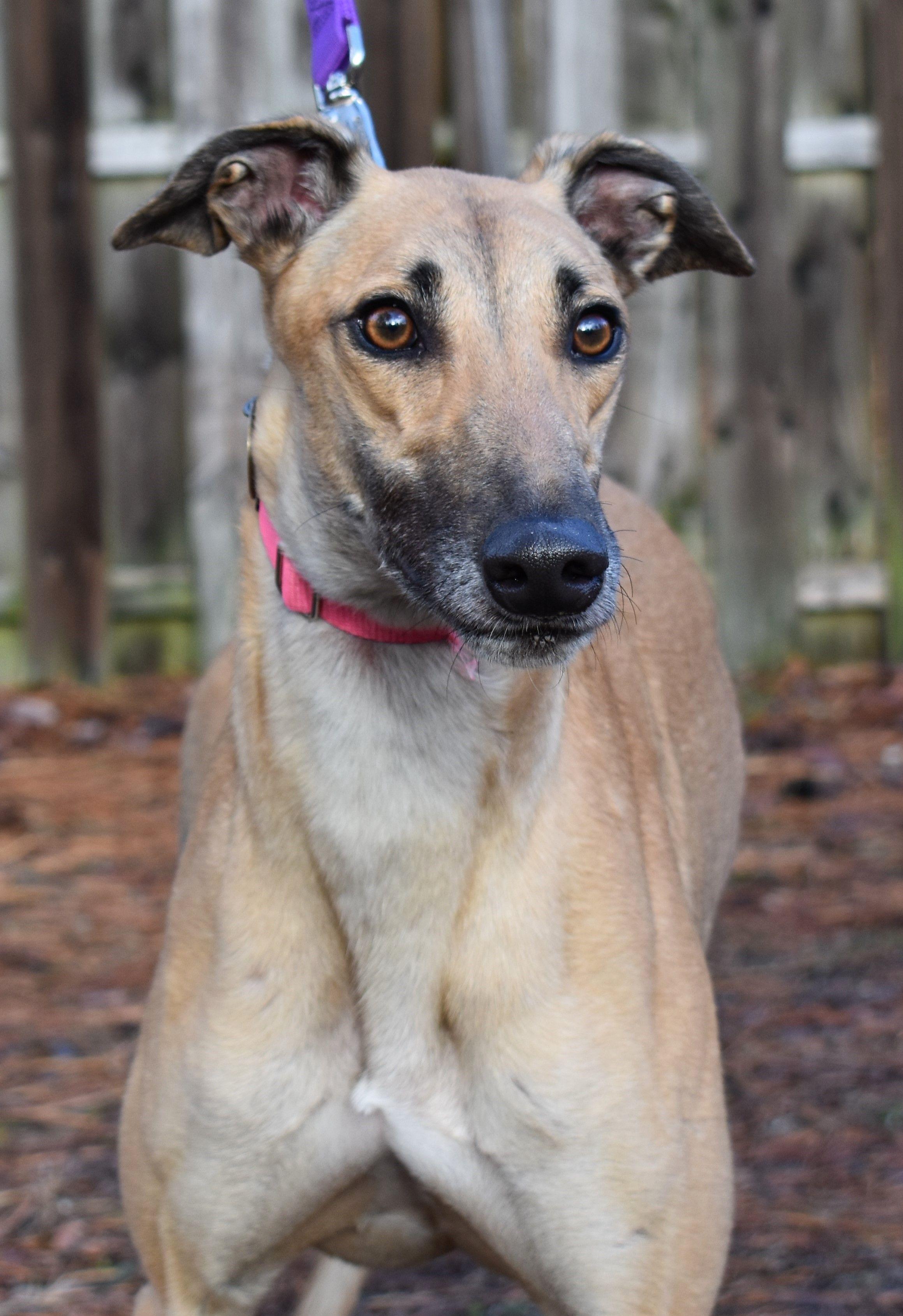 Greyhound dog for Adoption in Cherry Hill, NJ. ADN804851