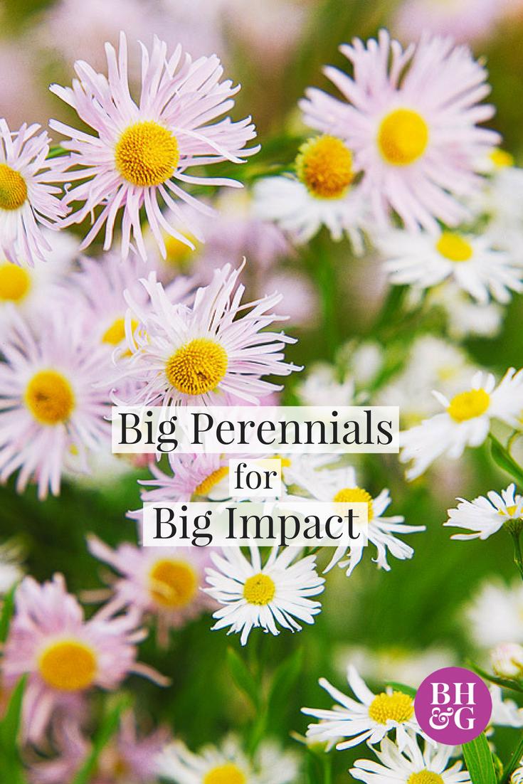 Big Perennials For Big Impact Hollyhock Oriental Lily And Perennials
