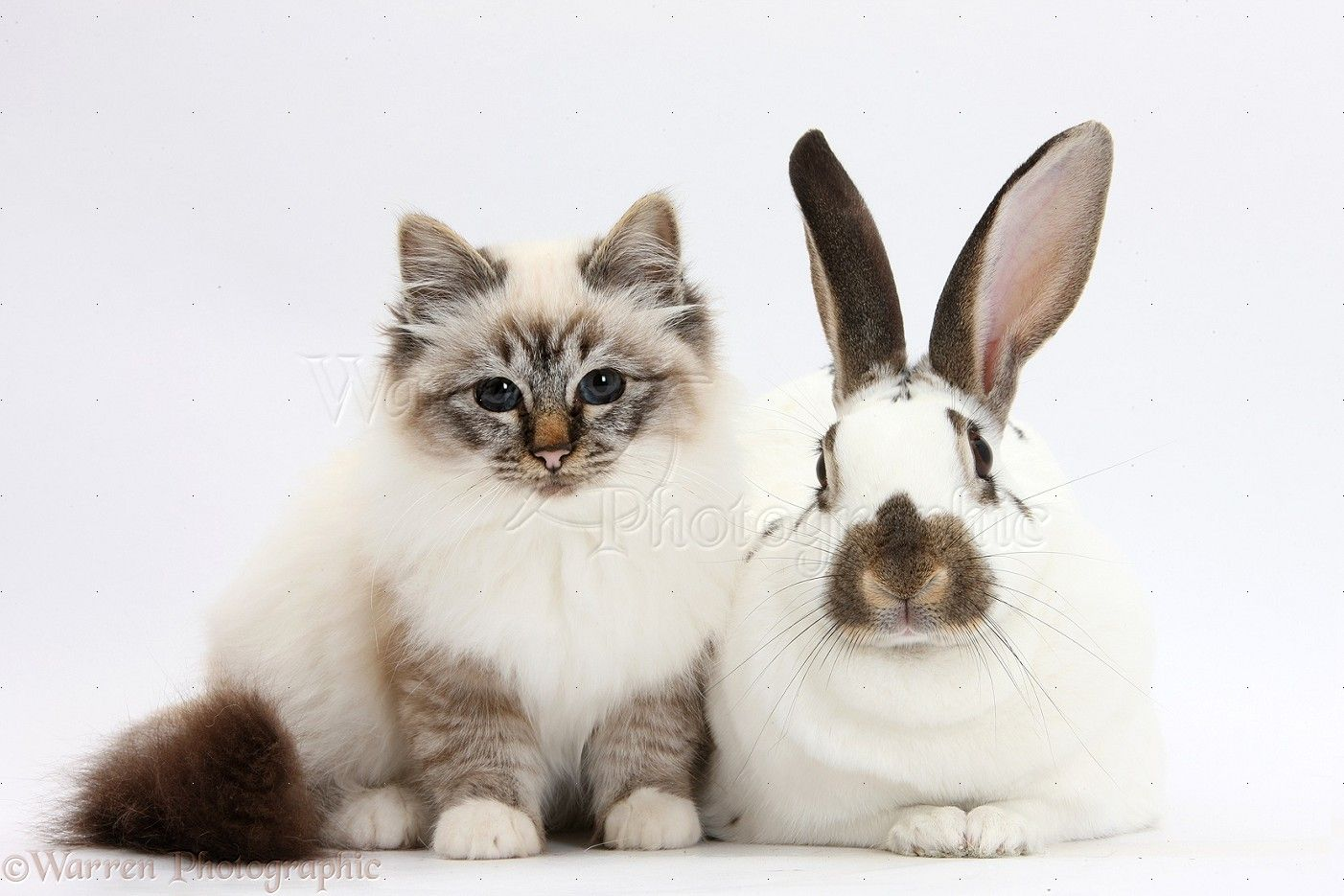 WP31959 Tabbypoint Birman cat and brownandwhite rabbit