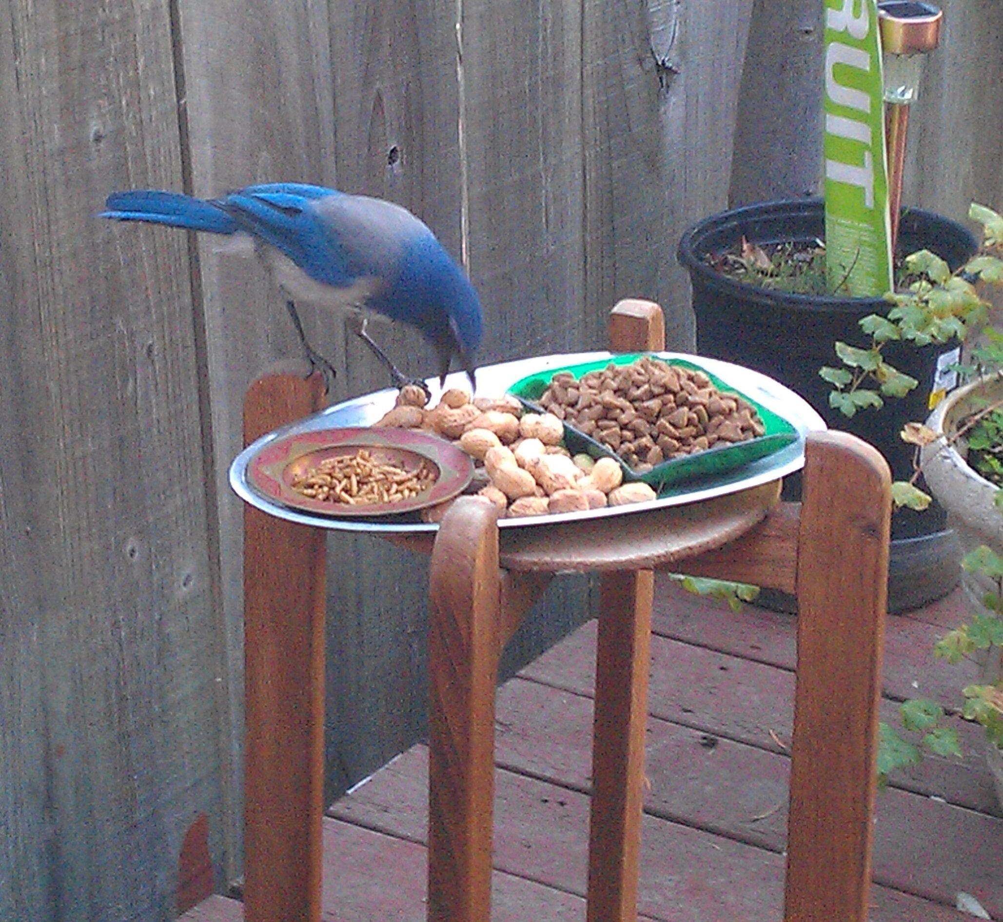 breakfast buffet western scrub jay backyard buddies pinterest