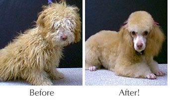 Scruffy Before And After Dog Grooming Dog Grooming Dogs Losing A Dog
