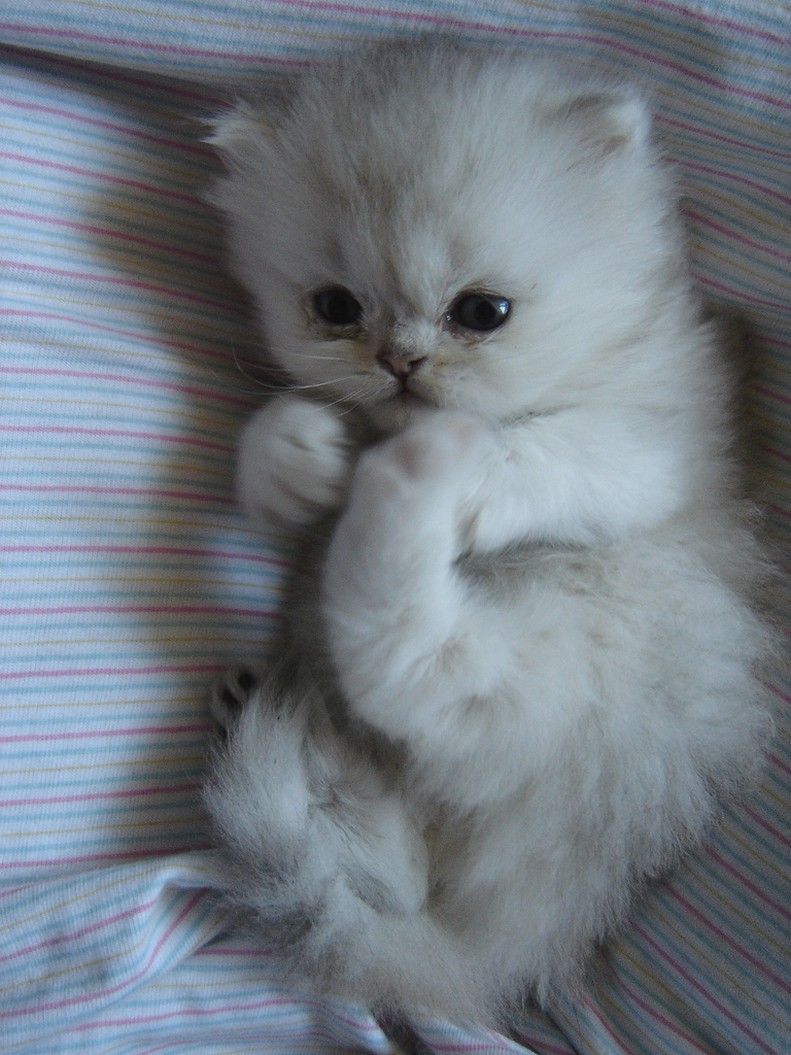 cute persian kitten in white (1 comment) HiRes 720p HD