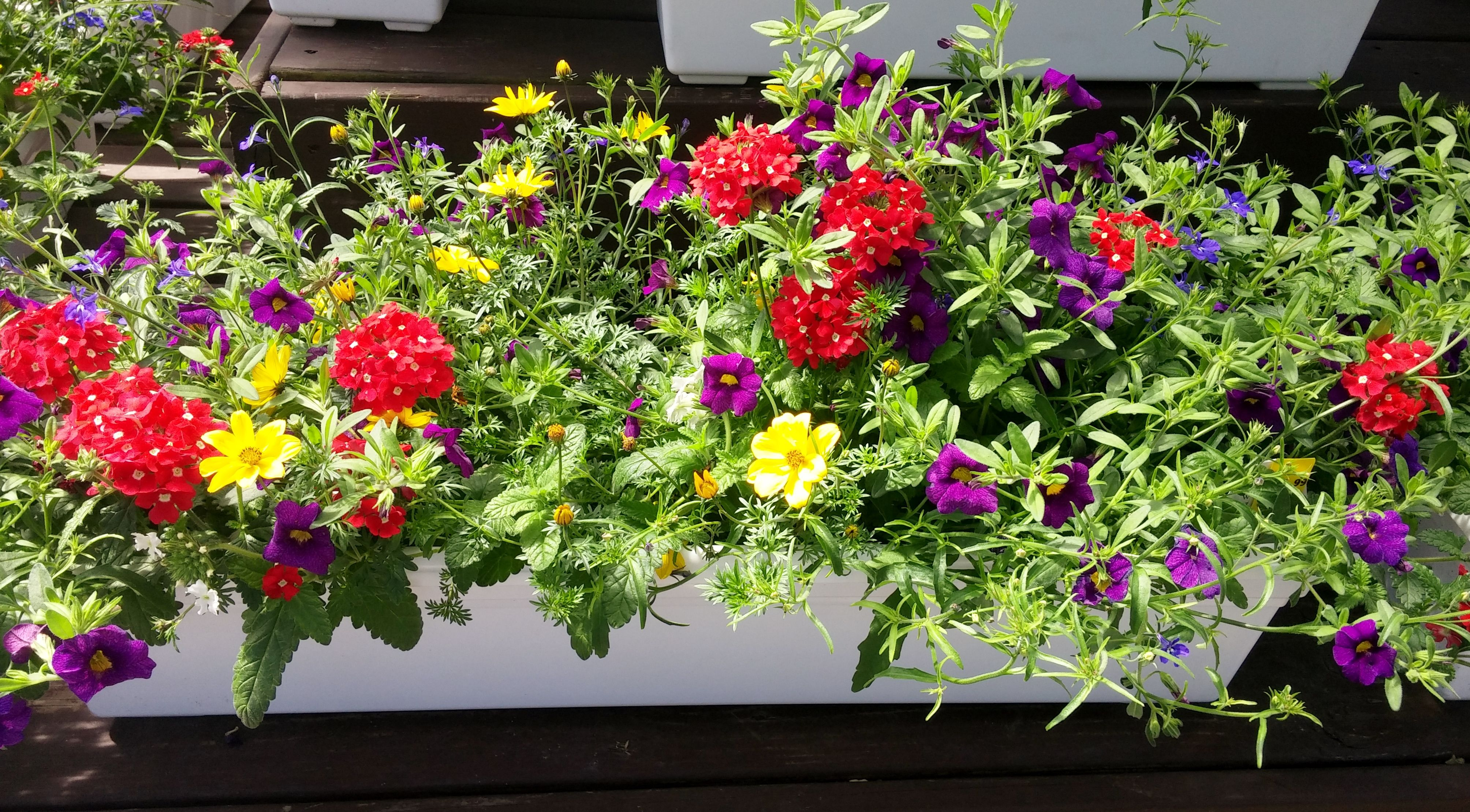 Colorful Full Sun Window Box Created By Longfellows Design Team