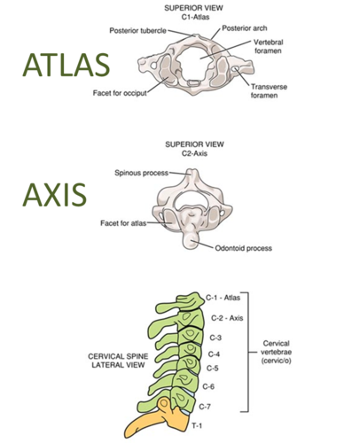 Atlas and Axis | Anatomy and Physiology for Communication Disorders ...