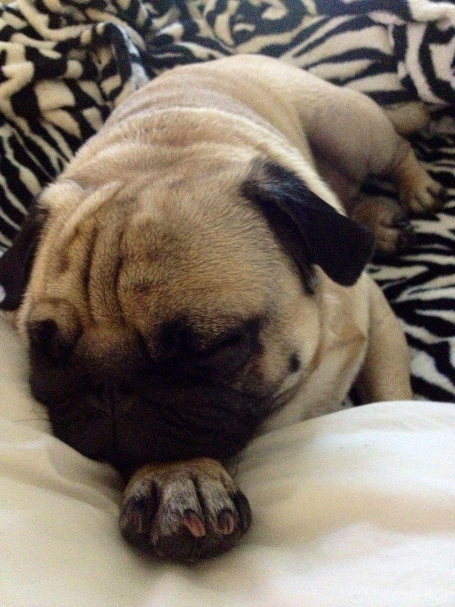Sleeping Pug Animal Pugs Cute Animals Animals