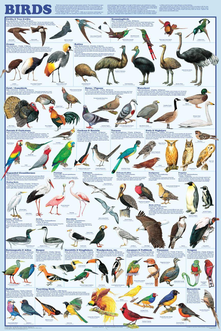 Types of birds avian raptors poster the birds of prey for Types of birdhouses for birds