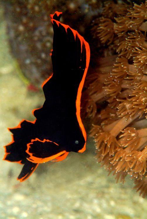 Pin On Longfin Batfish