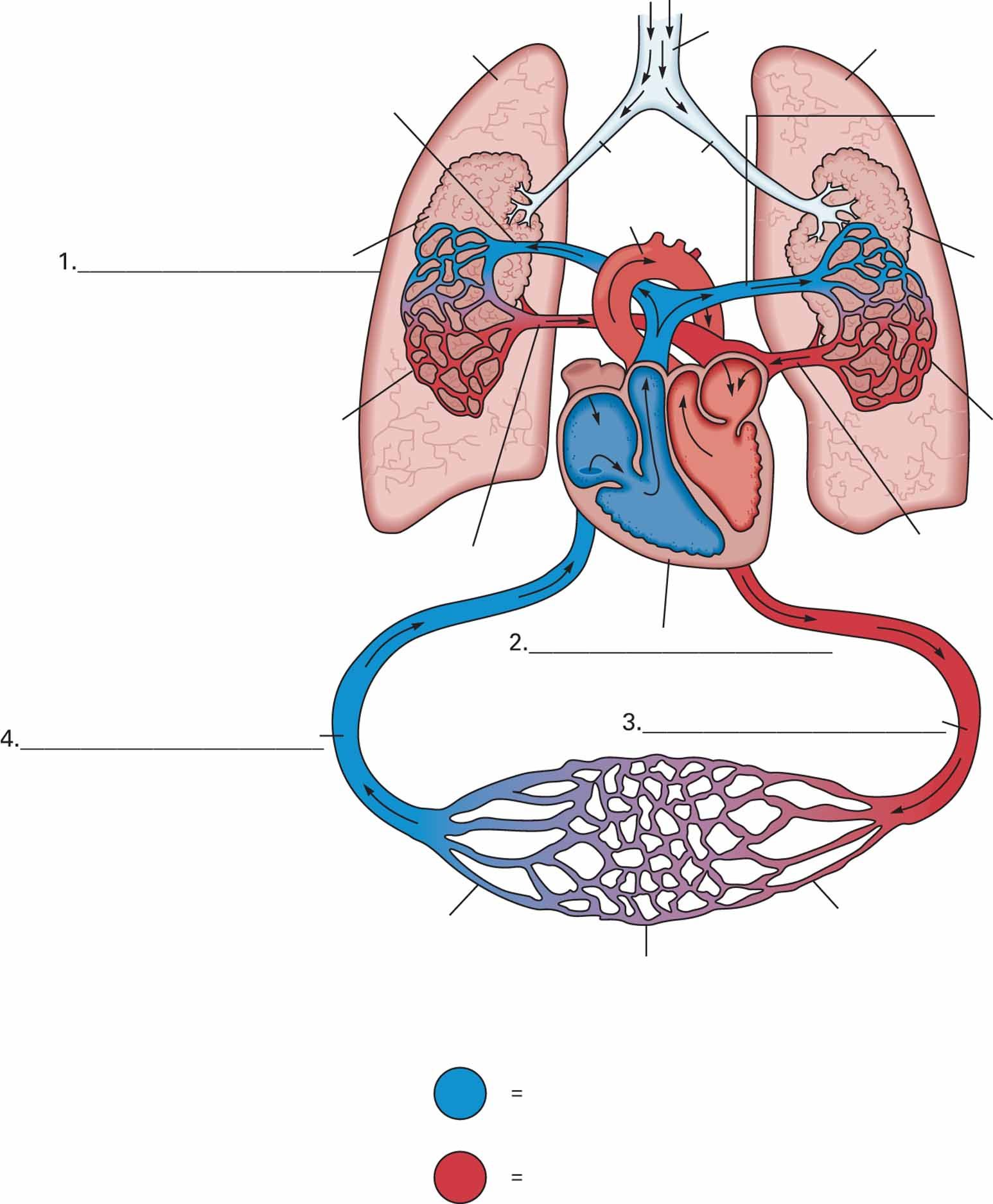 Diagram of heart, arteries, veins, arterioles, venules and ...