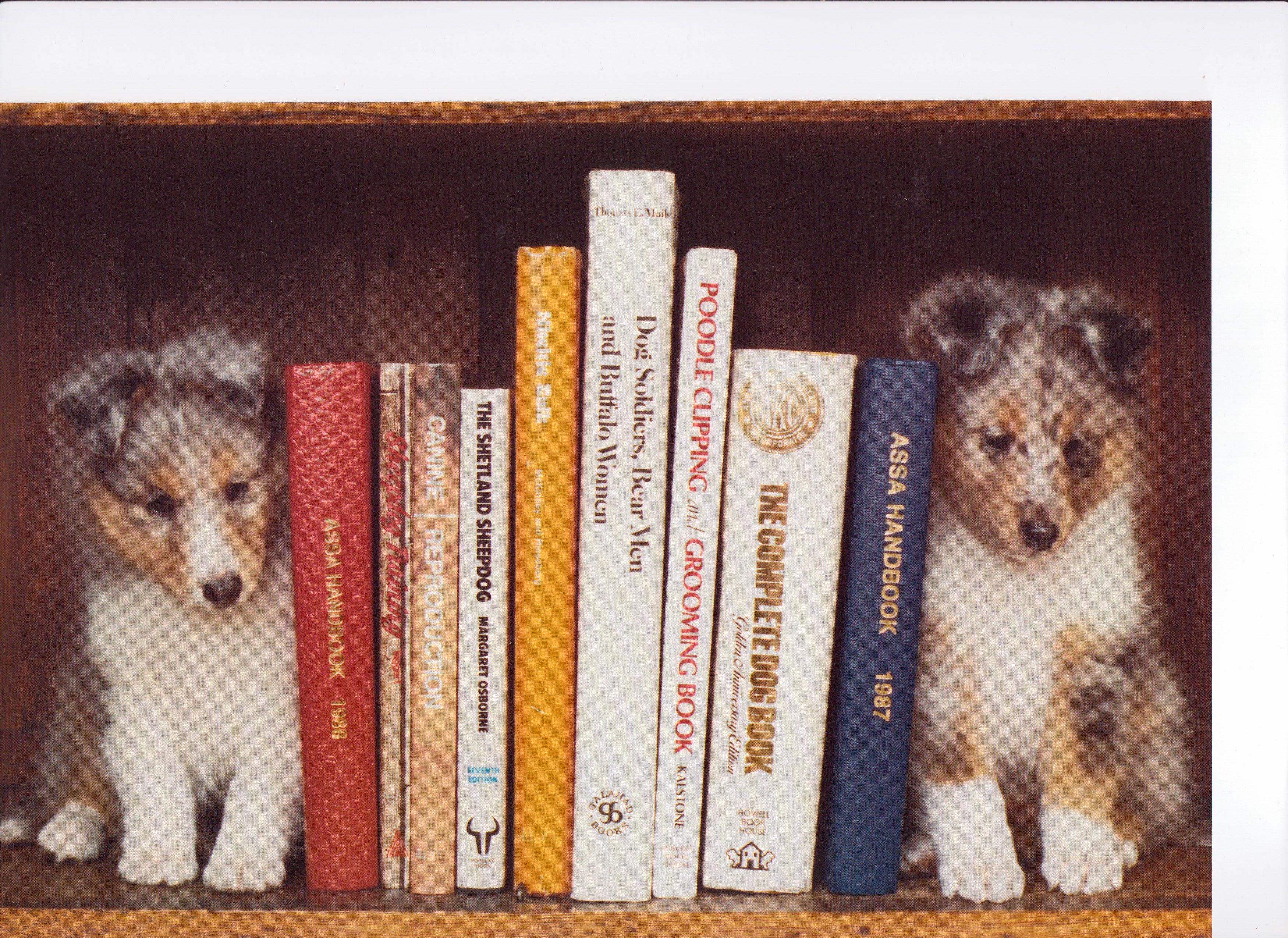 Blue merle sheltie pup bookends blue merle sheltie