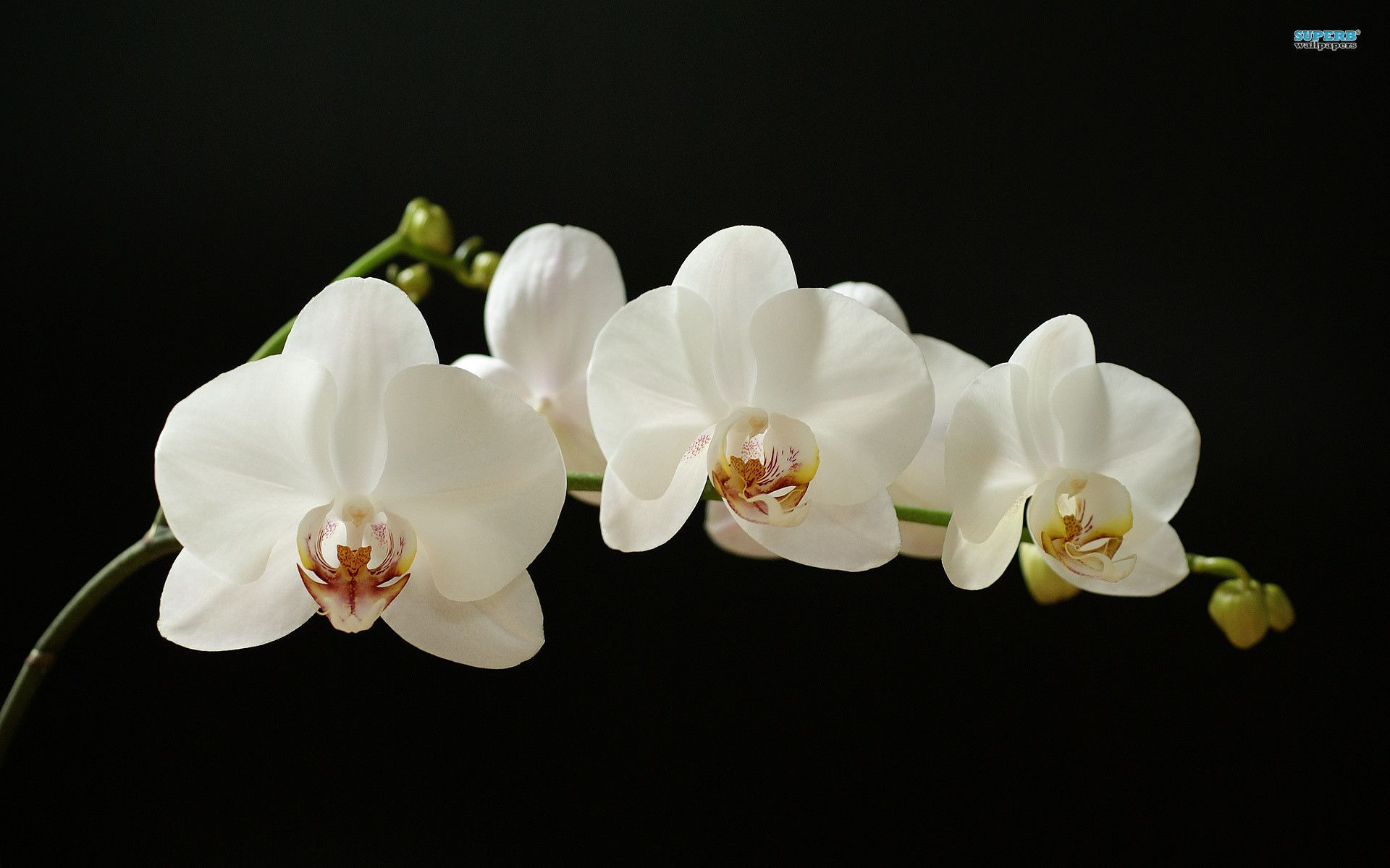 Orchid wallpaper collection for free download Çiçekler pinterest