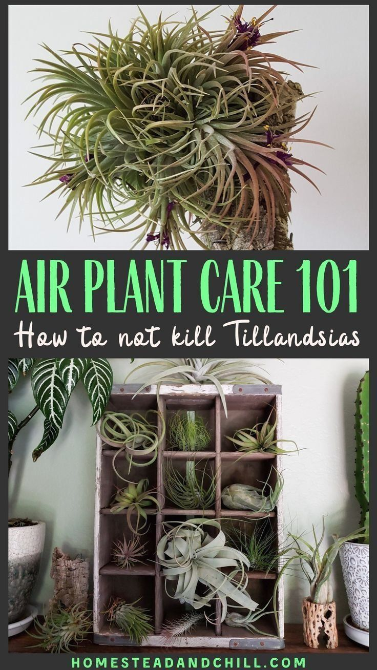 Air Plant Care 101 1000 in 2020 Air plants care, Air