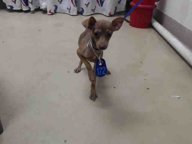 Prancer Id A470933 Urgent Harris County Animal Shelter In Houston Texas Adopt Or Foster I Need A Foster Home Animal Shelter Puppy Adoption Animals