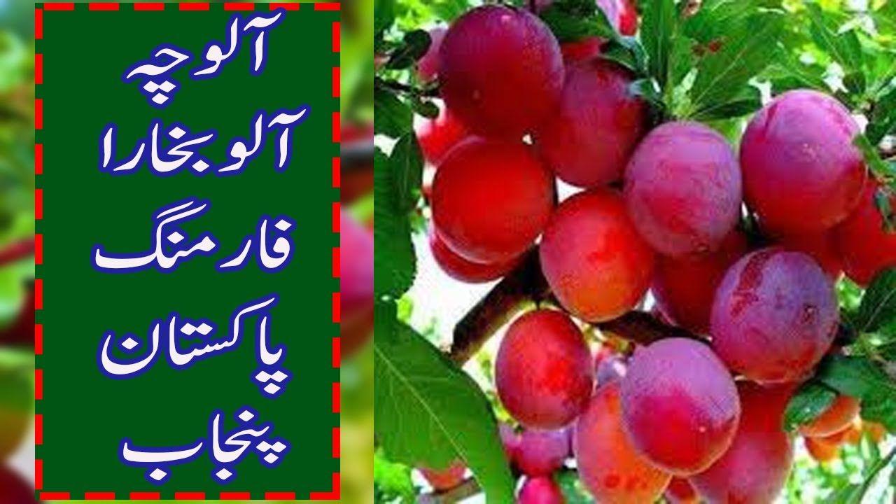 Anjeer Fruit Tree
