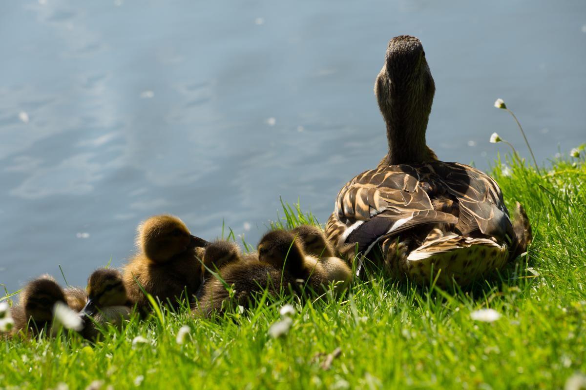 ducks ducklings birds get this free picture at avopix com
