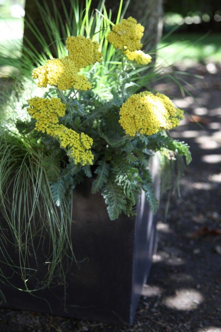 container garden with 'Moonshine' Yarrow | Gardenista