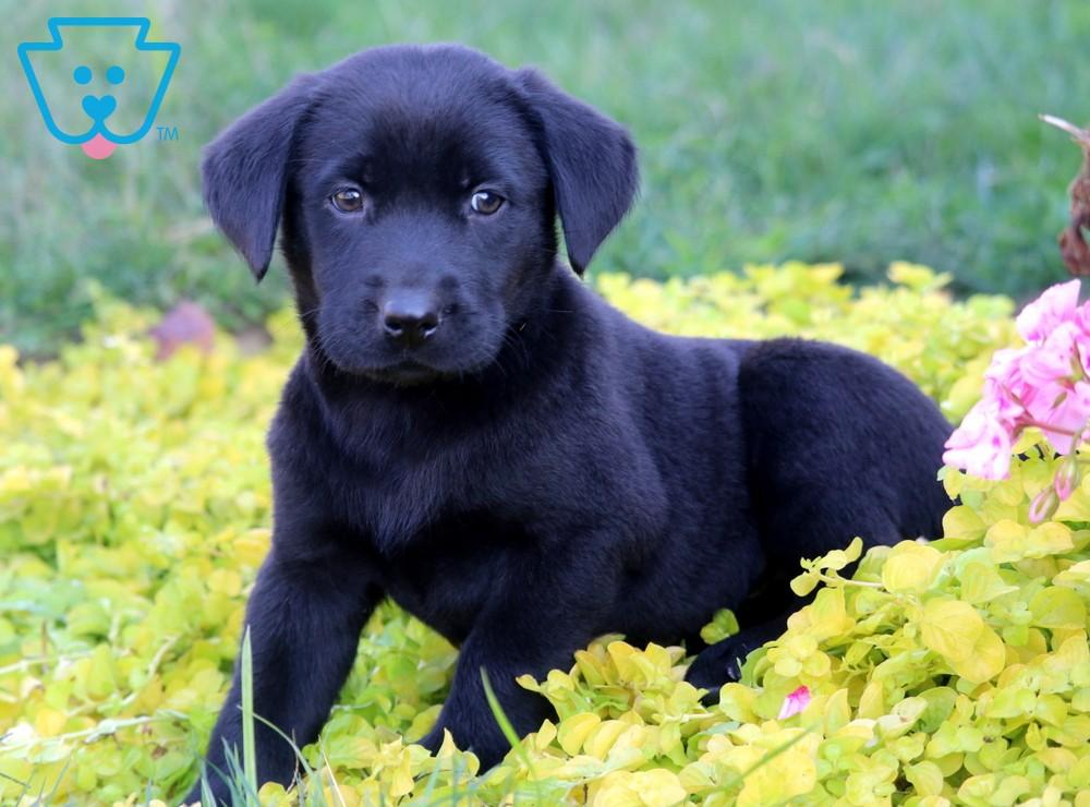 Parker Labrador Retriever Black Puppy For Sale Keystone Puppies Black Puppy Labrador Retriever Black Lab Puppies