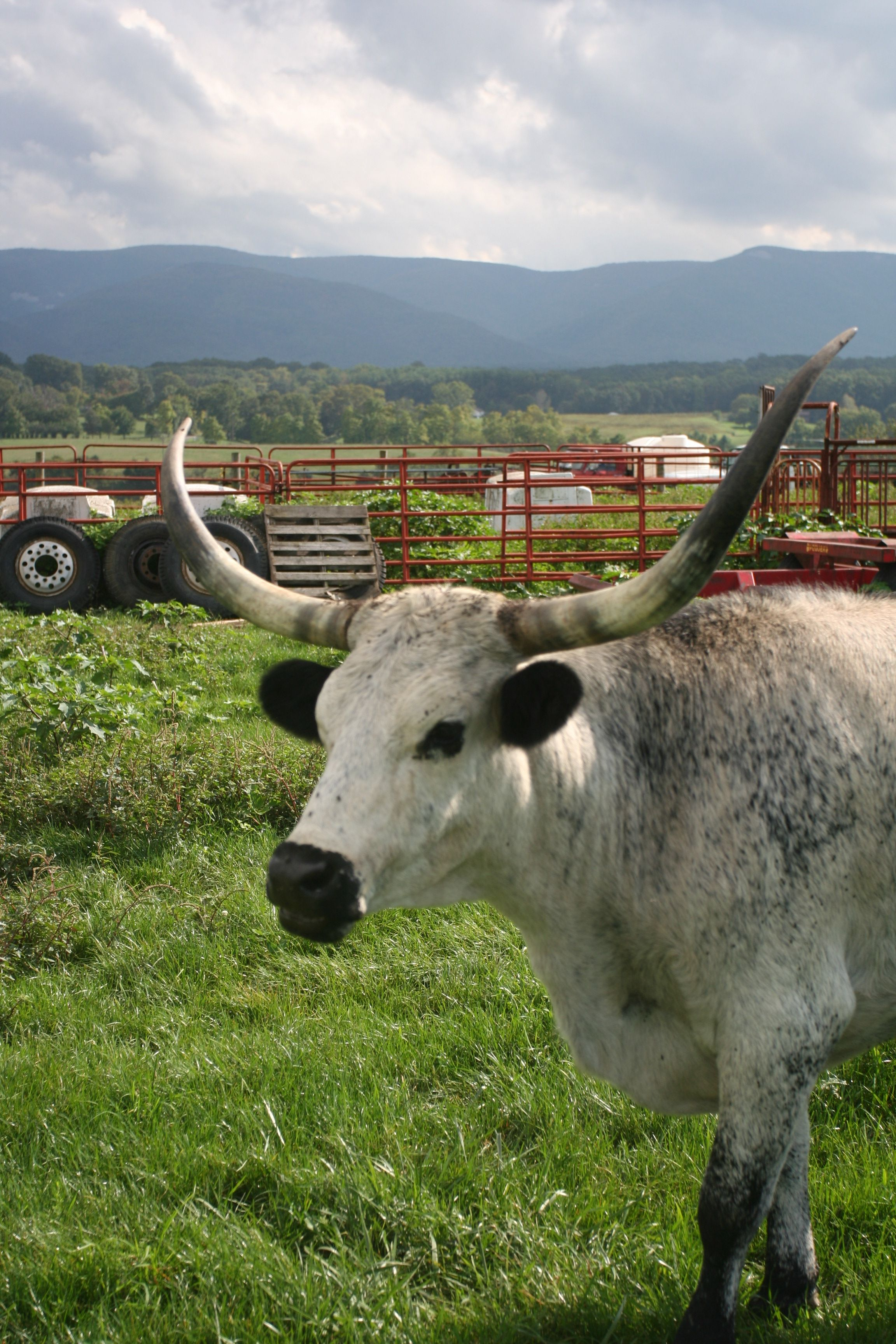 long horn cow, need one of these,this is the kind of cow