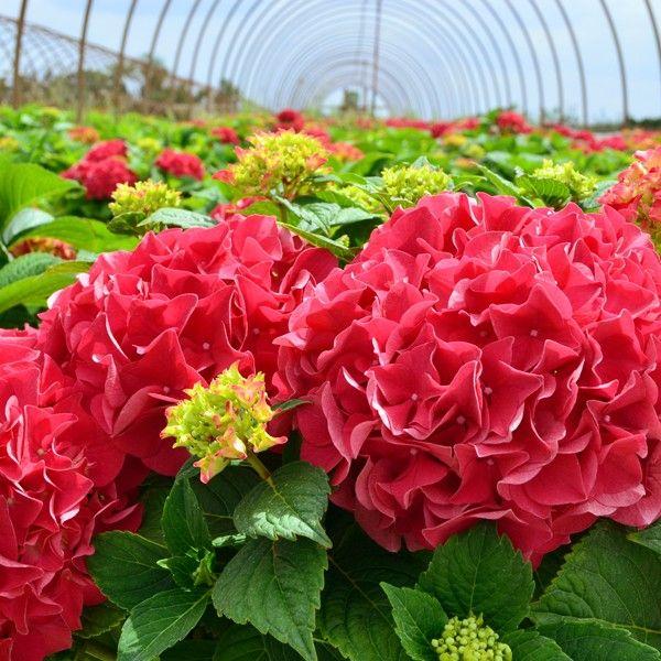 Grateful Red Hydrangea Red Hydrangea Hydrangea Planting Hydrangeas