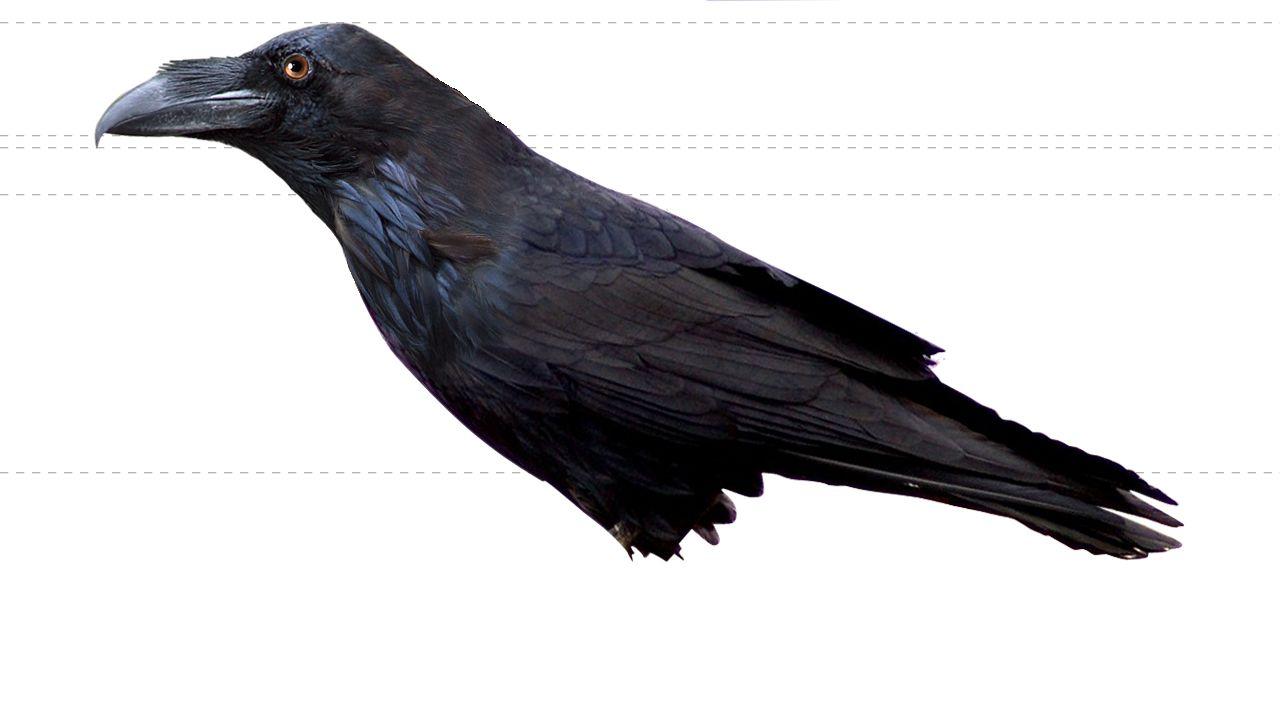 3rd Year Blog: Raven Reference | Raven Anatomy | Pinterest