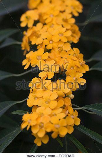 Euphorbia / Scarlet-Plume