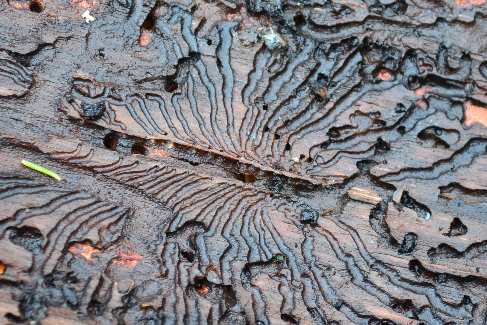 The larvae of Spruce Bark-Beetles make intricate patterns