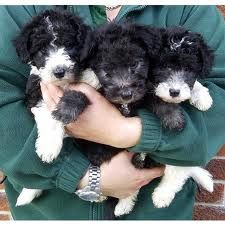 Foxypoo Puppies Wire Haired Fox Terrier Poodle Mix Terrier