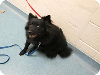 Schipperke Mix Palm Beach County Animal Care And Control Pet Id 6472435 A1628662 Kitten Adoption Schipperke Pets