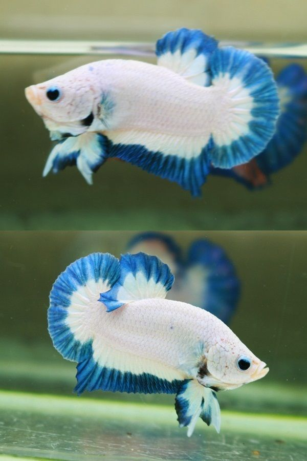 35 Different Types Of Betta Fish With Beautiful Pictures Betta Fish Types Pet Fish Betta Fish Tank