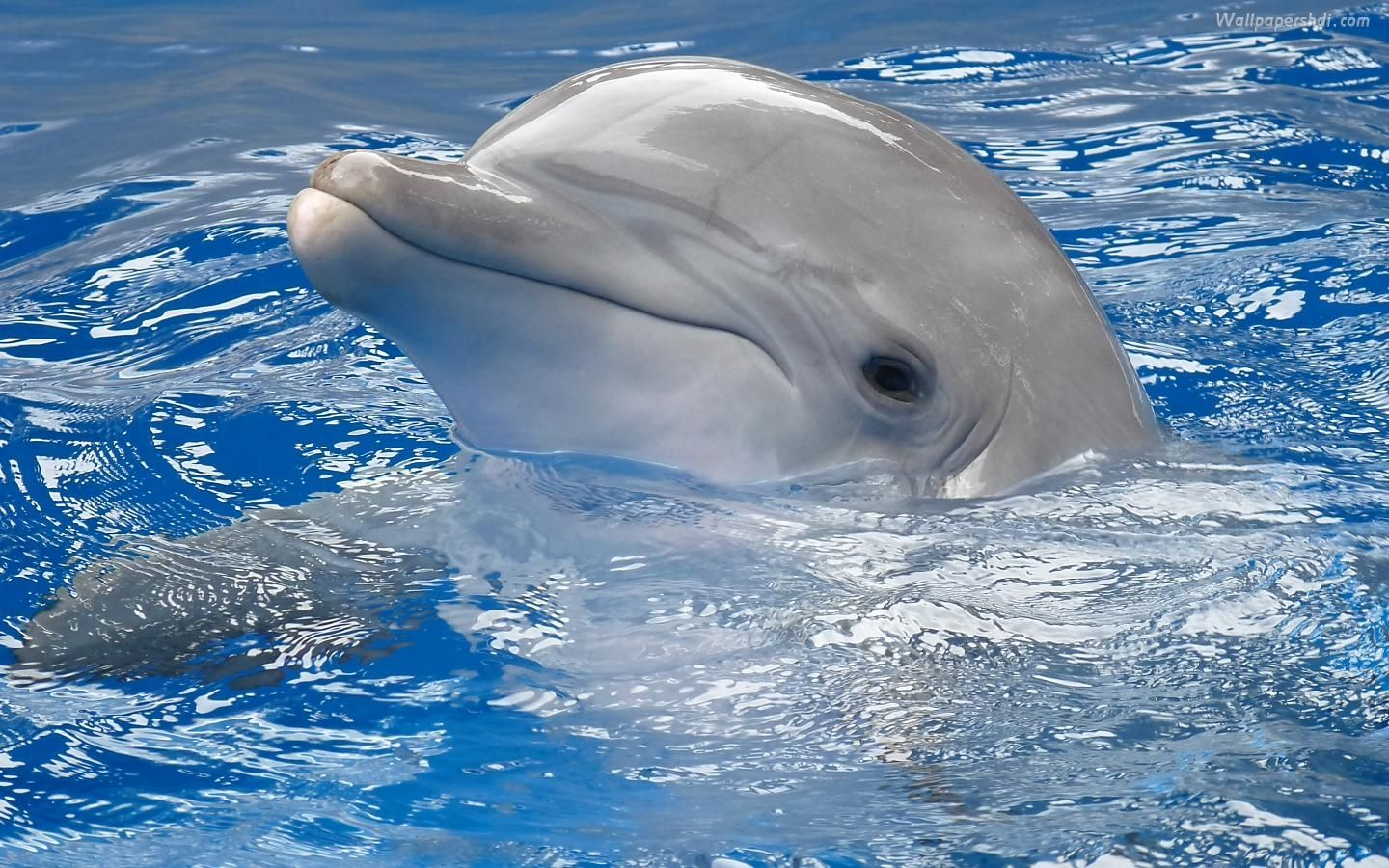You are viewing dolphin wallpaper 1440900 full hd and free you are viewing dolphin wallpaper 1440900 full hd and free download voltagebd Gallery