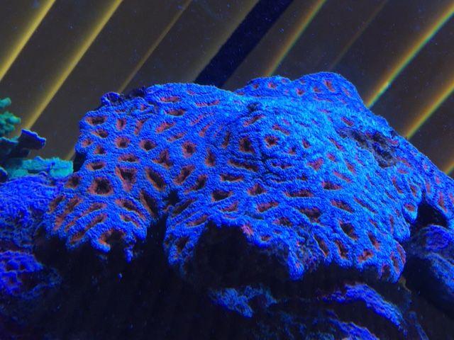 lps korallen f r anf nger nano aquarium meerwasser. Black Bedroom Furniture Sets. Home Design Ideas