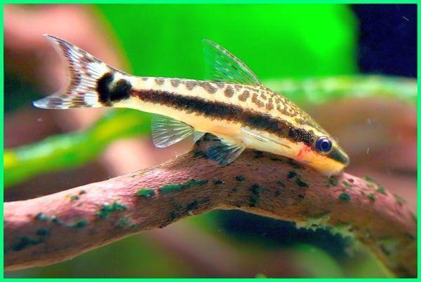 6 Jenis Ikan Pembersih Kaca Lumut Alga Dan Kotoran Di Aquarium Dunia Fauna Hewan Binatang Tumbuhan Ikan Akuarium Ikan Siklid Ikan