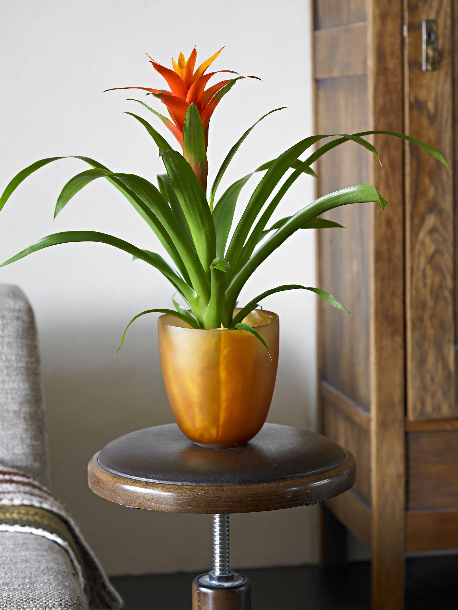 Bromelia - Bromelia, Classic Style - Pinterest - Houseplants And