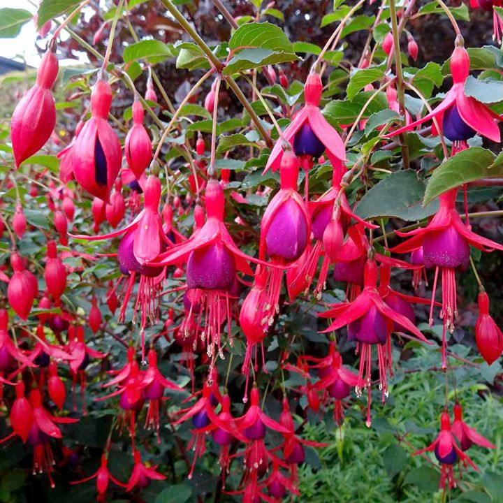 Hardy fuchsias display the flowering quality of summer bedding fuchsias but will flowers - Hardy houseplants ...
