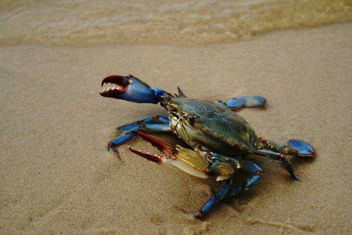 Blue crab blue crab crab fish art