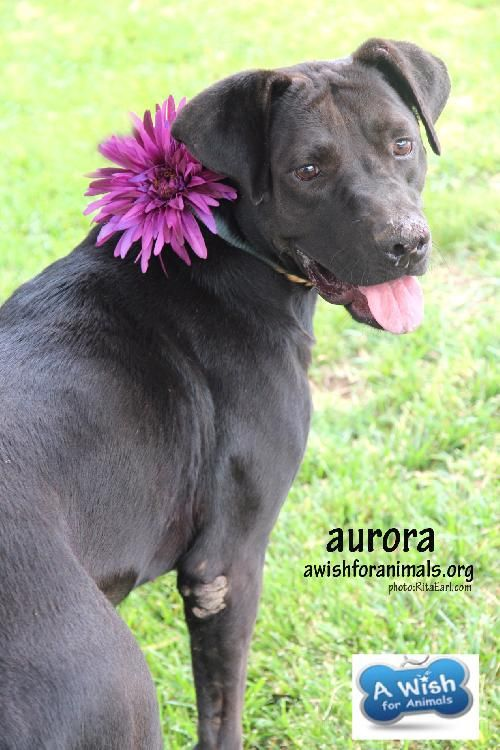 Adopt Aurora On Labrador Retriever Animals Pets