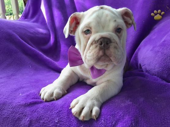 Kelly English Bulldog Puppy For Sale In Williamsburg Pa