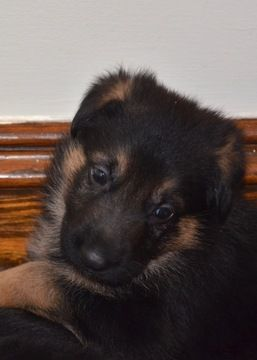 Litter Of 9 German Shepherd Dog Puppies For Sale In Ashby Ma Adn
