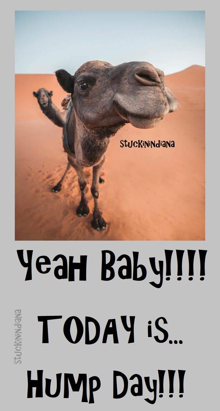 Yeah Baby Today Is Hump Day Hump Day Humor Funny Hump Day Memes Happy Friday Humour