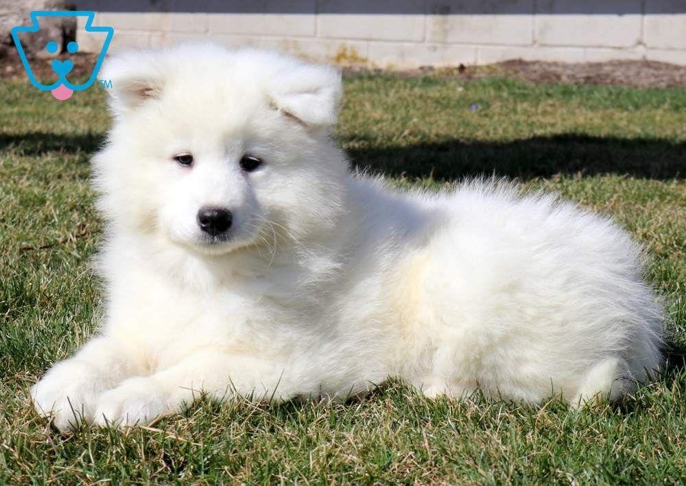 Tyson Samoyed Puppies Samoyed Puppies For Sale Puppies