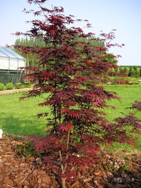 Acer Palmatum Shojo Nomura Front Yard Planting Japanese Maples