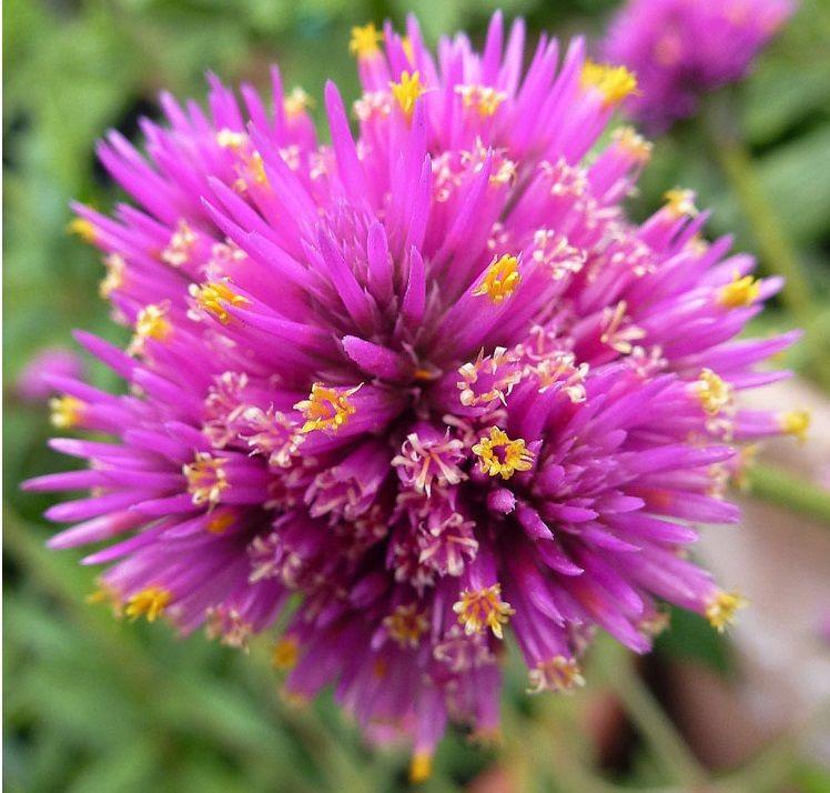 Gomphrena Globosa is a beautiful purple flower. It tends ...