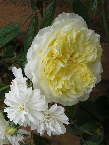 Climbing and rambling roses | Flickr - Photo Sharing!